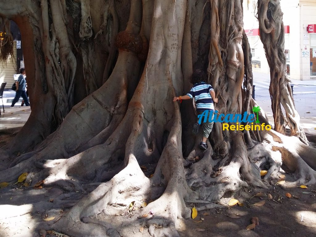 Träumen von Feigenbäumen Luftwurzler: Natur-Sehenswürdigkeit in Alicante